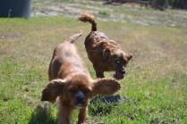 Banksia Park Puppies Willbee - 1 of 54 (15)