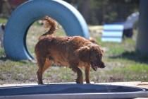 Banksia Park Puppies Willbee - 1 of 54 (18)