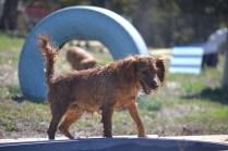 Banksia Park Puppies Willbee - 1 of 54 (4)