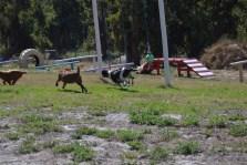 Banksia Park Puppies Willbee - 1 of 54 (51)