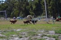 Banksia Park Puppies Willbee - 1 of 54 (9)