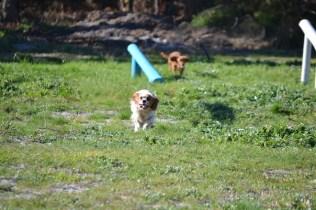 Banksia Park Puppies Willbee - 9 of 29