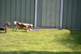 Starlet-Cavalier-Banksia Park Puppies - 1 of 25