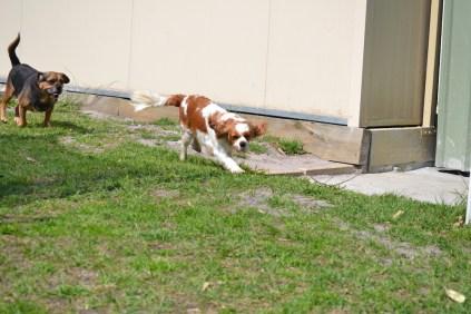 Starlet-Cavalier-Banksia Park Puppies - 12 of 25