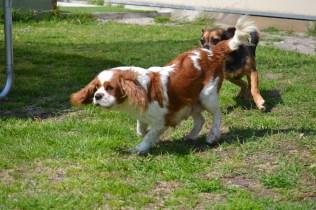 Starlet-Cavalier-Banksia Park Puppies - 14 of 25