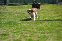 Starlet-Cavalier-Banksia Park Puppies - 5 of 25