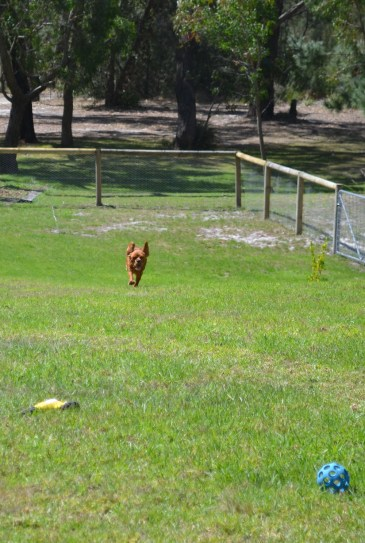 Banksia Park Puppies Patsy