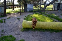 Banksia Park Puppies jumping Mami 5