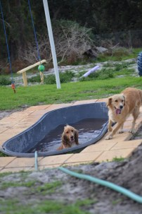 Banksia Park Puppies Sara - 32 of 39