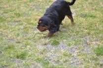 Banksia Park Puppies Chazzie - 16 of 39