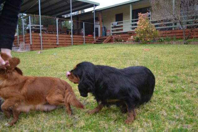 Banksia Park Puppies Chazzie - 37 of 39