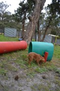 banksia-park-puppies-cosmo-14-of-22