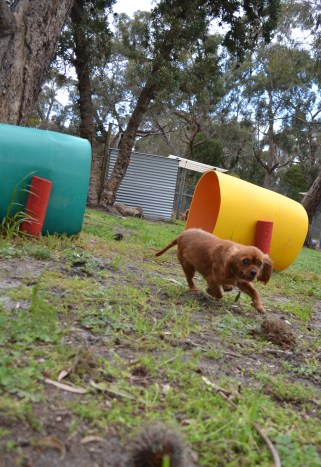 banksia-park-puppies-cosmo-15-of-22
