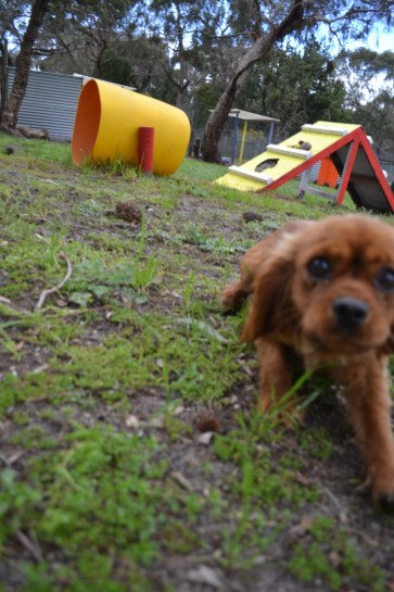 banksia-park-puppies-cosmo-17-of-22