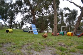 banksia-park-puppies-cosmo-20-of-22