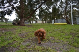 banksia-park-puppies-cosmo-9-of-22