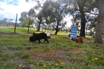 banksia-park-puppies-crunchie-21-of-25