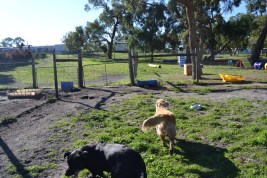 Banksia Park Puppies Char
