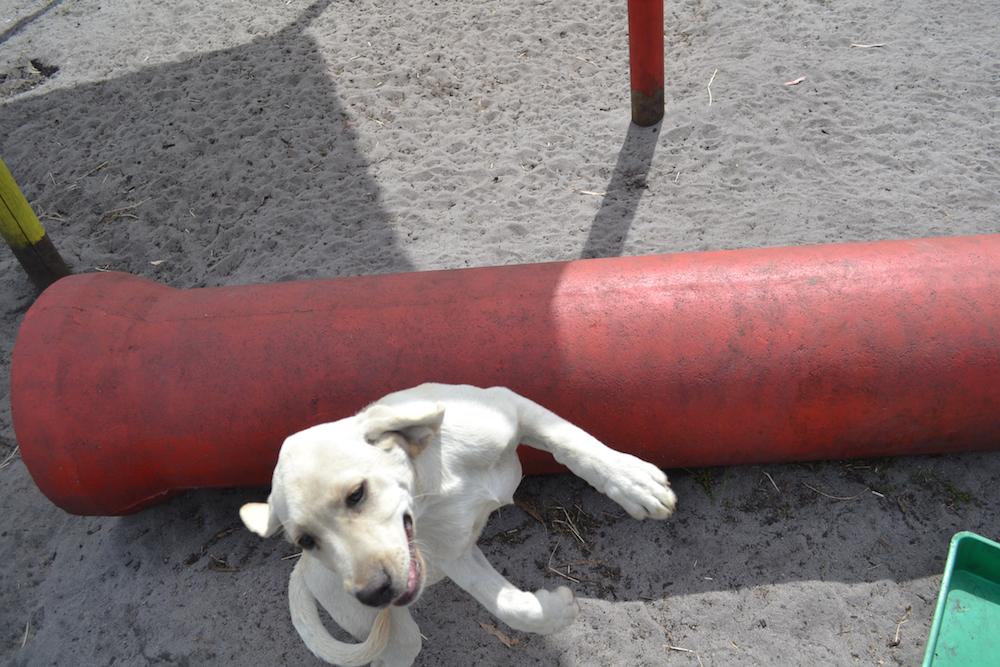 Banksia Park Puppies KitKat
