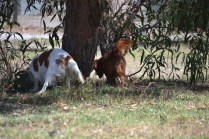 Banksia Park Puppies Muffin Ravi - 24 of 28