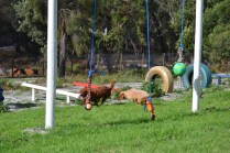 Banksia Park Puppies Poko - 15 of 19