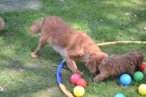 Harlee-Cavalier-Banksia Park Puppies - 15 of 24