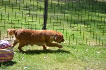 Harlee-Cavalier-Banksia Park Puppies - 21 of 24