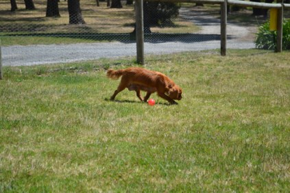shazzoom-banksia-park-puppies-1-of-22