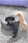 Banksia Park Puppies Ariel Swoosh 1