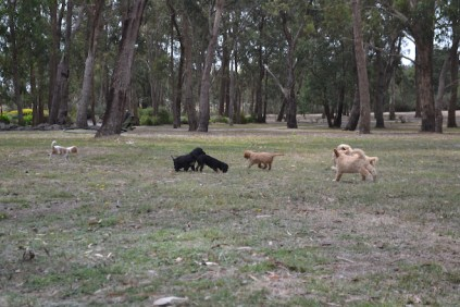 Banksia Park Puppies Sherry, Sharon, Arial, Swoosh - 4
