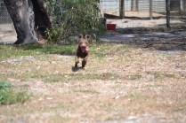 Banksia Park Puppies Flame