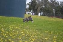banksia-park-puppies-lulu-8-of-9