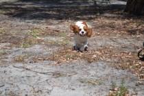Banksia Park Puppies Ravi - 15