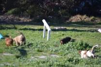 Banksia Park Puppies Ravi - 18 of 39