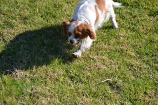 Banksia Park Puppies Ravi - 26 of 39