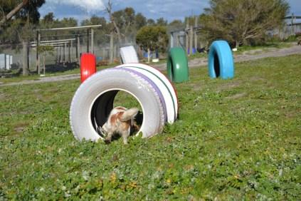 Banksia Park Puppies Ravi - 33 of 39