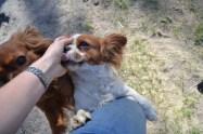 Banksia Park Puppies Ravi Lance - 12 of 47
