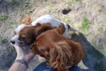 Banksia Park Puppies Ravi Lance - 5 of 47