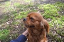 banksia-park-puppies-honey-15-of-33