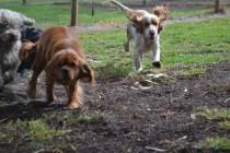 banksia-park-puppies-honey-2-of-33