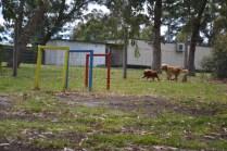 banksia-park-puppies-honey-22-of-33