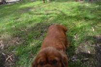 banksia-park-puppies-honey-31-of-33