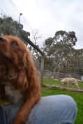 Banksia Park Puppies Salli - 4 of 22