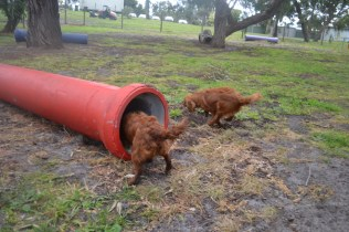banksia-park-puppies-shayla-21-of-41