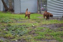 banksia-park-puppies-shayla-24-of-41