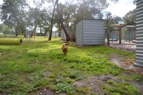 banksia-park-puppies-shayla-36-of-41