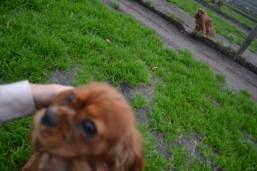 Banksia Park Puppies Silli - 9 of 10