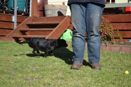 Banksia Park Puppies Stunner