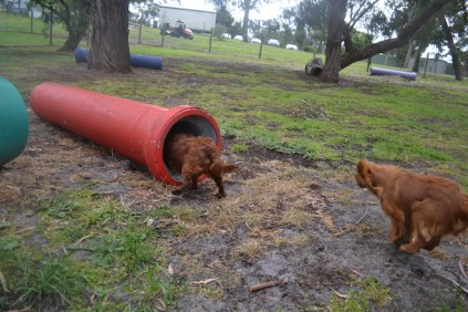 banksia-park-puppies-tanner-12-of-25