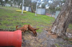 banksia-park-puppies-tanner-15-of-25